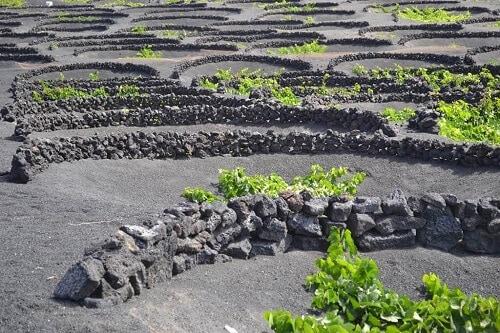 Ruta de vinos y festivales en La Geria que no te puedes perder